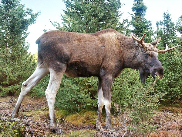 Moose-Gustav (1)