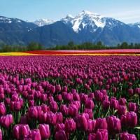 Top 18 Flower Fields in the World