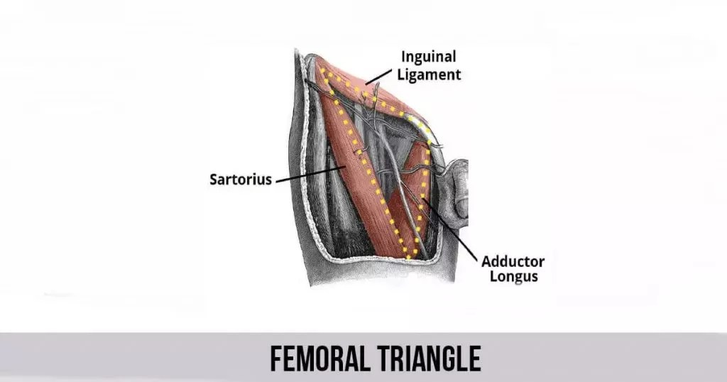 Femoral Triangle - World Wide Lifestyles - femoral triangle