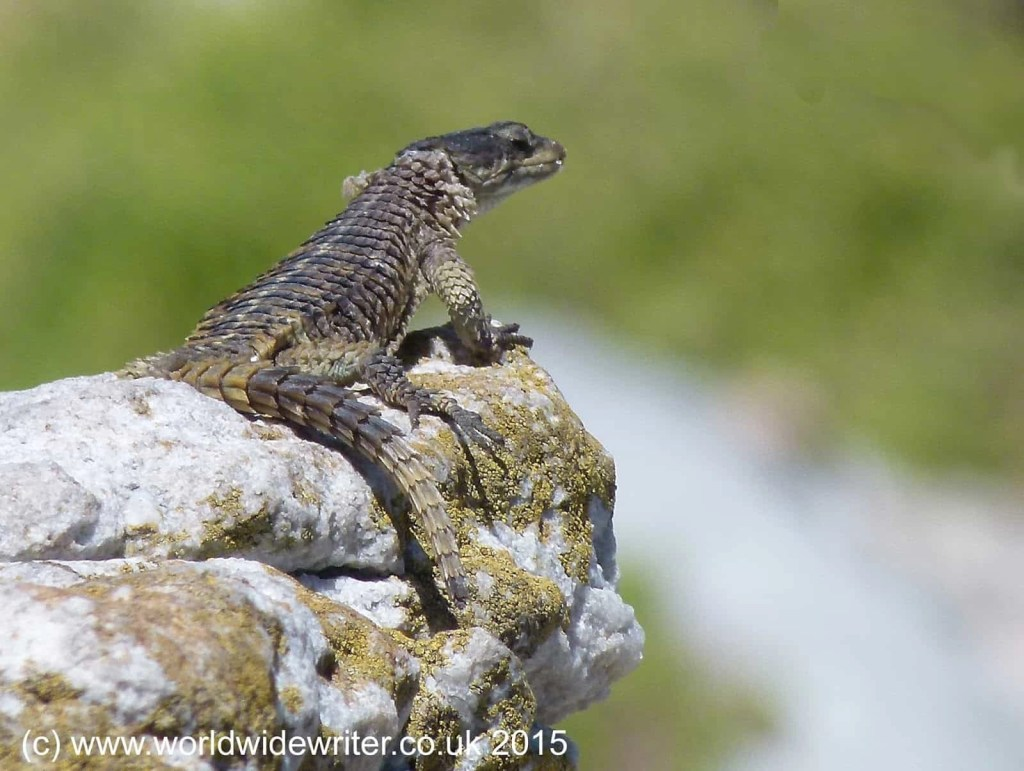 Girdled lizard at Stony Point Sanctuary, South Africa - www.worldwidewriter.co.uk
