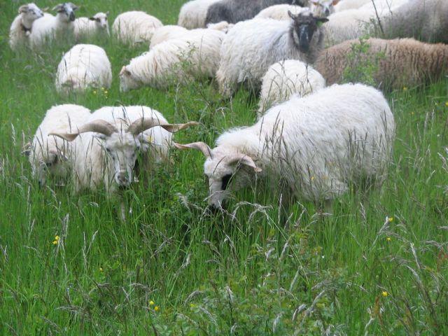 Valašská ovca - photo found on here