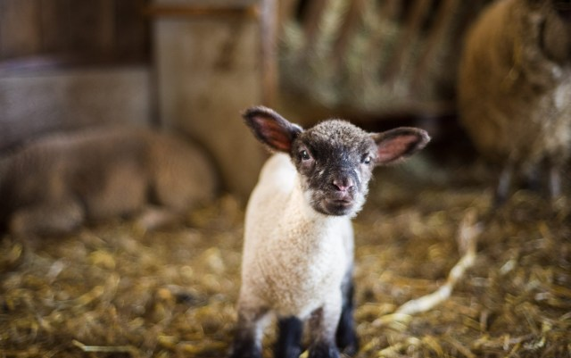 Quinn Farm Lamb - image © Quinn Farm and used with kind permission