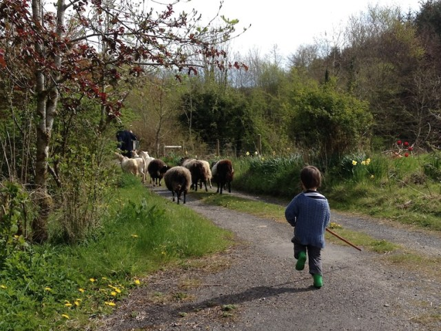 Herding sheep, photo © Caroline Walshe and used here with kind permission