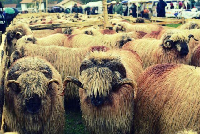 Turcana sheep - image found here