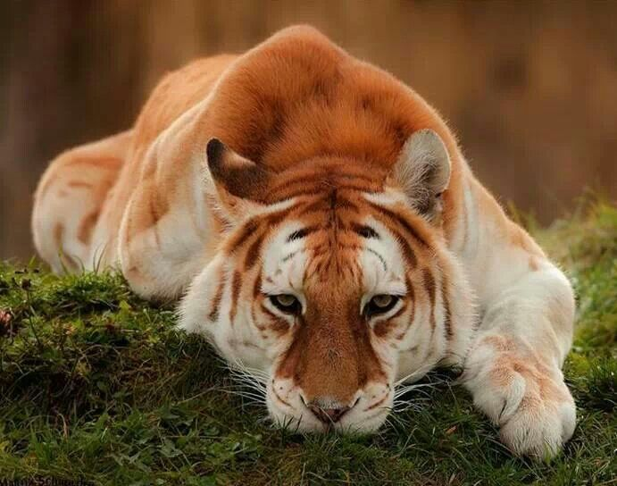 Amazing Animal Wallpapers The Majestic Rare Golden Tiger Wow Amazing