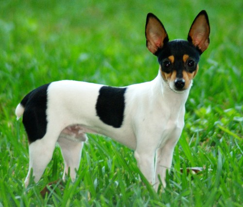 Robust Toy Fox Smallest Dog Breeds World Wow Mexican Wild Dog Breeds Ancient Mexican Dog Breeds