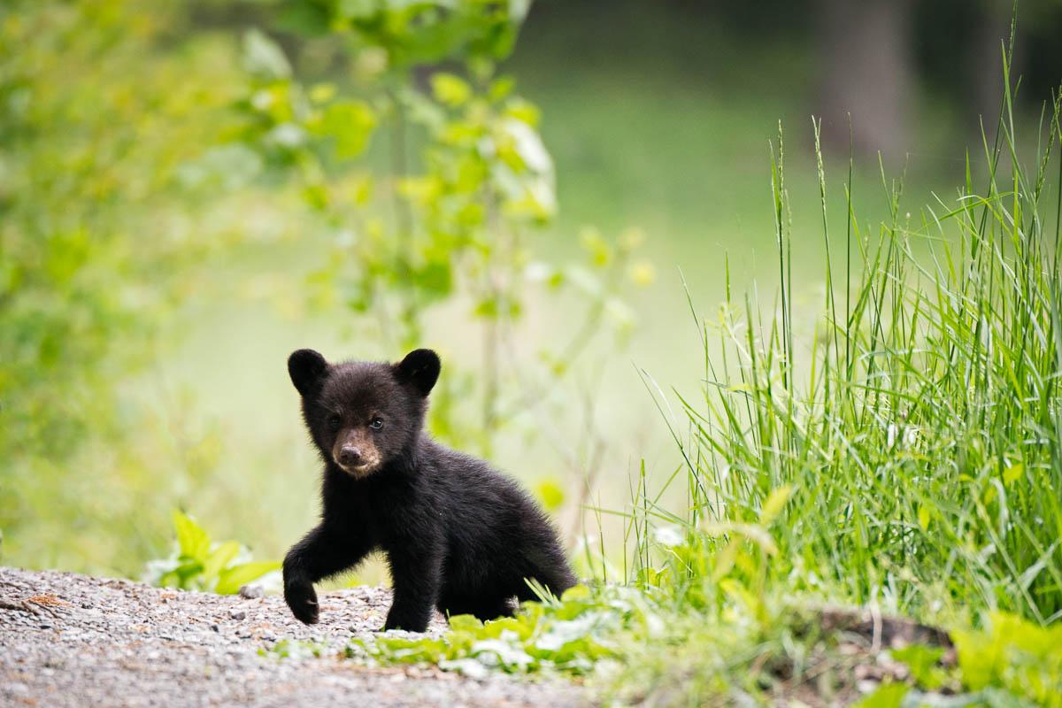 Cute Baby Bears Wallpaper Bear Wp3 Photography