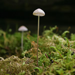 Kuhner's conocybe mushroom, photo by Jonathan Martin-DeMoor