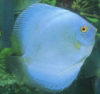 What To Know When Putting Discus Fish For Sale