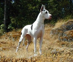 Small Of Great Dane Names