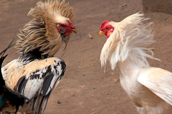 Cockfighting Leads To 22 Arrests