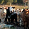 Meade County Fair – Saturday Beef Breeding Show