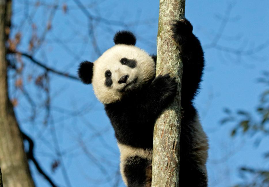 Baby Live Wallpaper Hd Giant Pandas Wwf