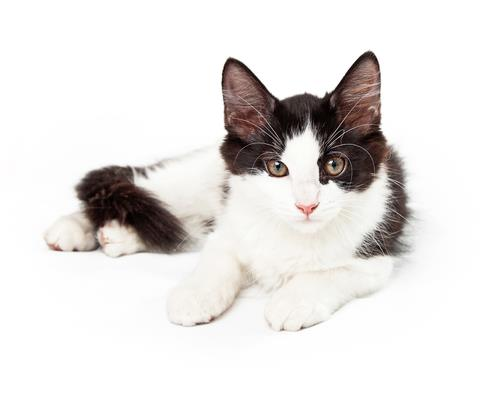 All About Tuxedo Cats→ Facts, Lifespan And Intelligence