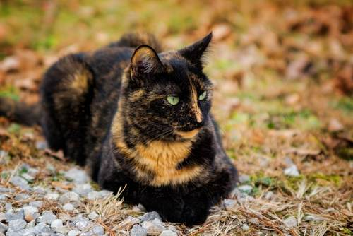 All About TortoiseShell Cats→ Facts, Lifespan And Intelligence