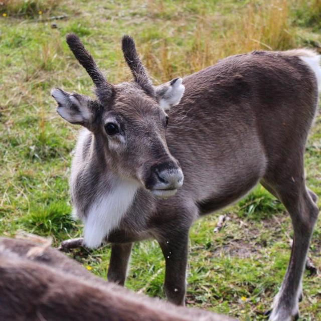 Feeding baby reindeer in Lapland and learning about Finnish culturehellip