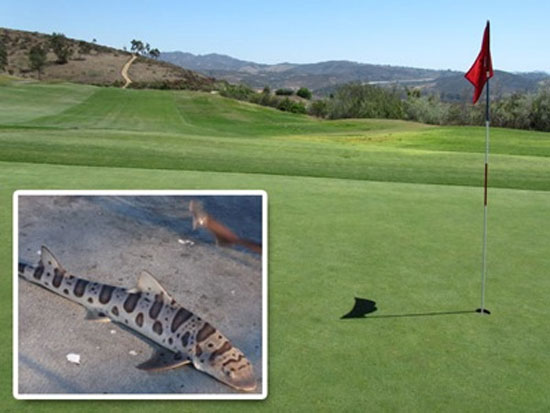 Καρχαρίας «επισκέφθηκε» γήπεδο γκολφ στη Καλιφόρνια!