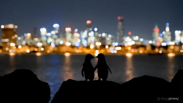 Bright Small Penguins, Big City Wildlife Journalism photostory Doug Gimesy