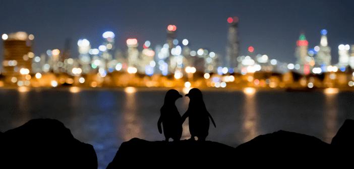 Small Penguins, Big City Wildlife Journalism photostory Doug Gimesy