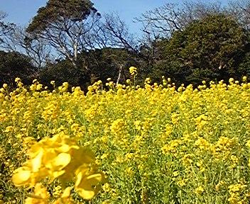 爪木崎の菜の花