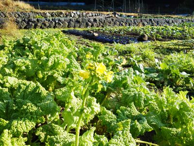 畑の菜の花.JPG