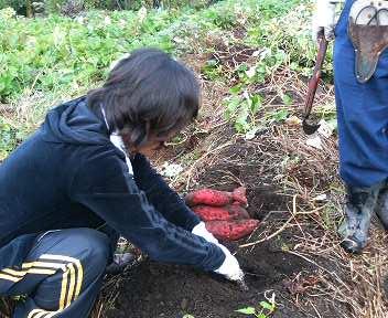 さつま芋の収穫