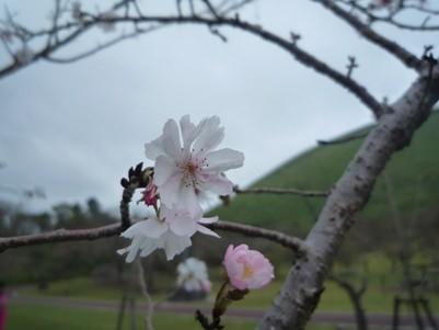 さくらの里の十月桜