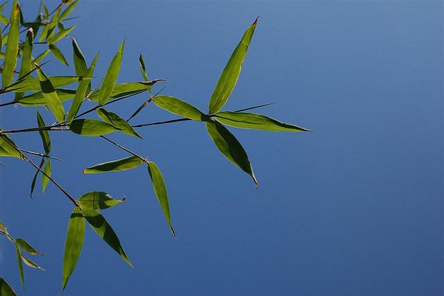 Bamboo_Blue_Sky