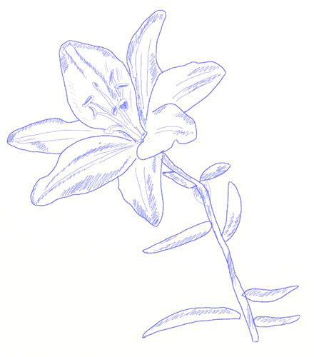 How to Draw a Lily Flower - Draw Step by Step
