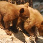 Yosemite-Bear-Cubs-YExplore-DeGrazio-2008