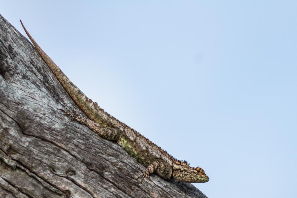Lagarto de los quebrachales (Tropidurus spinulosus) forma parte de un grupo de 20 especies exclusivas de Sudamérica, confinados al Chaco es uno de los miembros mas coloridos del grupo. Es una especie arborícola que forma territorios y los defienden con distintas posturas de variada intensidad diseñadas para evitar confrontaciones físicas. (Oscar Bordón)
