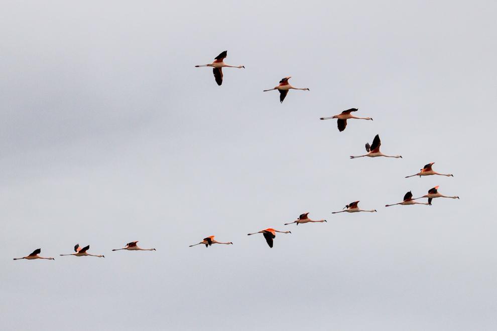 Una bandada de flamencos se aleja de la laguna. El Flamenco austral (Phoenicopterus chilensis) es una de las 6 especies de flamenco que hay en el mundo. Se alimenta de microorganismos acuáticos (principalmente algas y plancton) que le proveen distintos niveles del color rosado en las plumas (Tetsu Espósito)