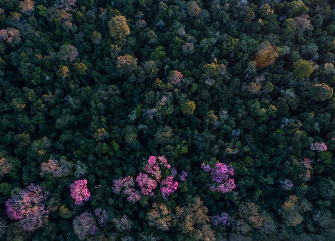 Los lapachos florecidos contrastan el verde del bosque con sus increíbles colores. (Tetsu Espósito).
