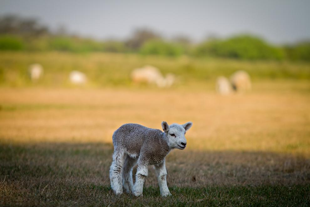 Una pequeña oveja pasta en una estancia chaqueña, en medio de una calurosa tarde de setiembre. (Tetsu Espósito)