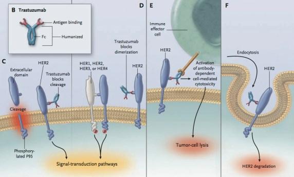 Herceptin MoA