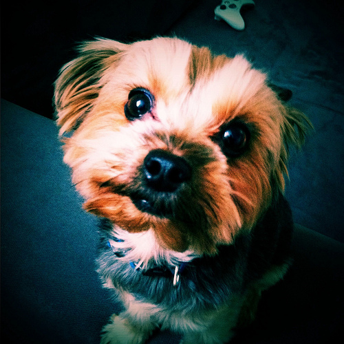 Black Light Wallpaper Yorshire Terrier Color Changes Yorkiepassion Com