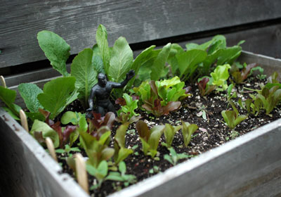 Wine Crate Filled with Greens and Radishes