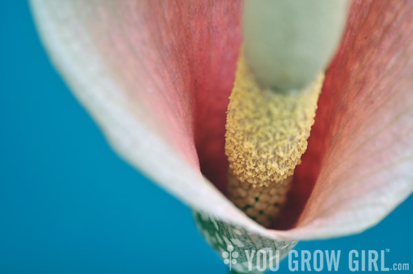 amorphophallus_bulbifer