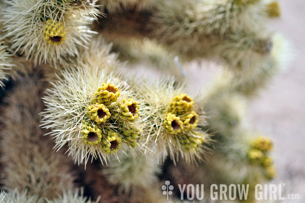 Cholla Cactus Fruit