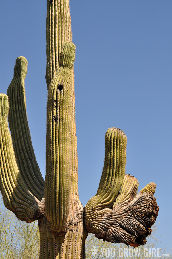 saguaro faciated