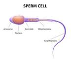 sperm-cell