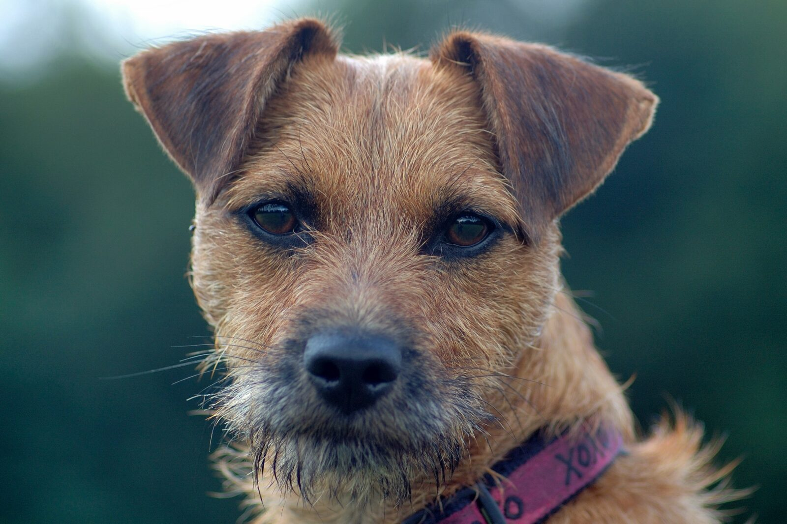 Image For About Border Terriers