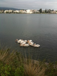 Pelicans Lake Merritt Oakland, CA_ Your Fit Da
