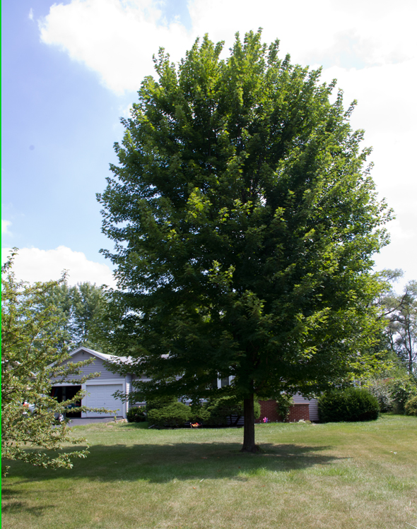 What size shade tree to buy to get the largest tree quickest