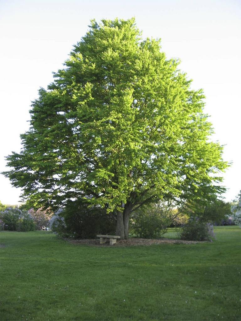 Manly Katsura Tree Is A Four Season Interest Shade Tree Oak Sapling Won T Grow Minecraft Oak Sapling Won T Grow houzz-02 Dark Oak Sapling Wont Grow