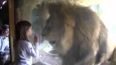 Little girl and the zoo lion