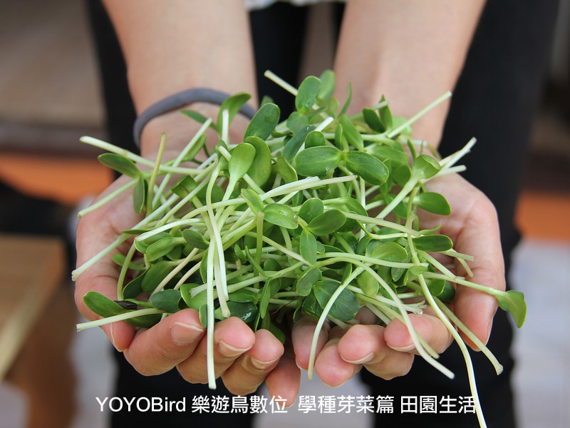 sprout-YOYOBird.com2
