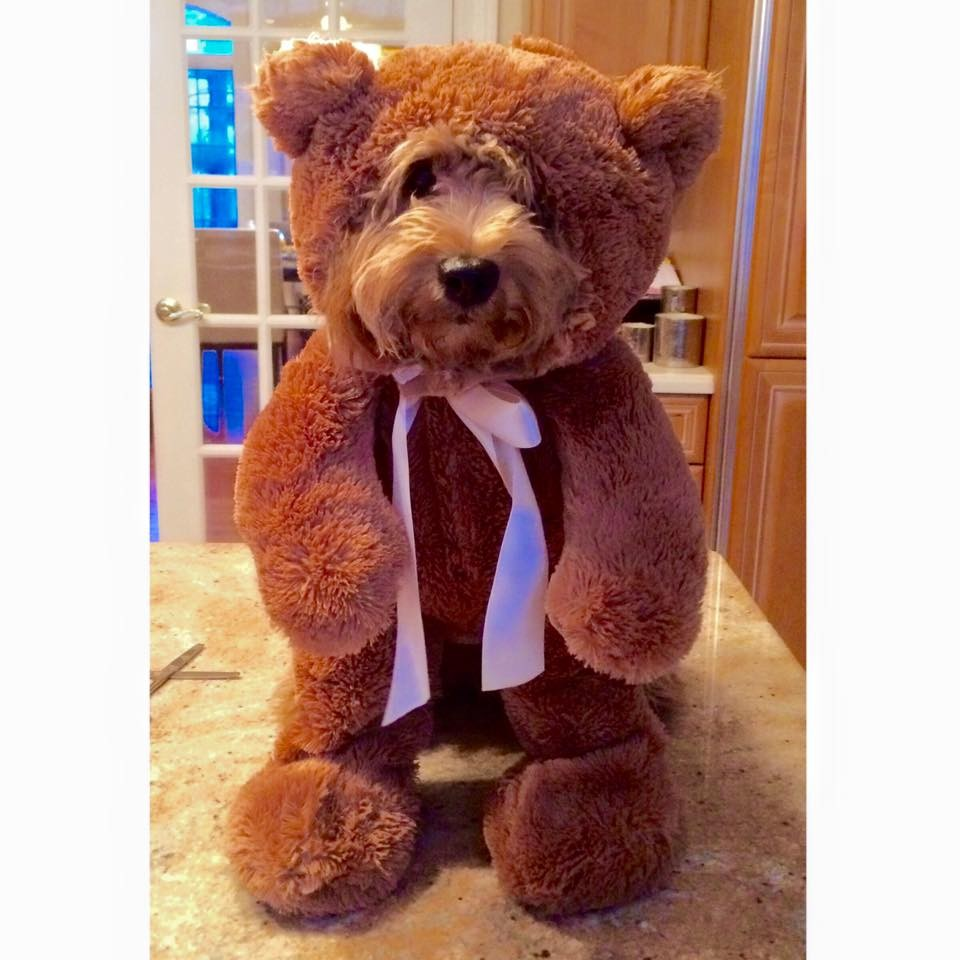 10 Teddy Bear Dogs that Pose like a Toy Store Display You