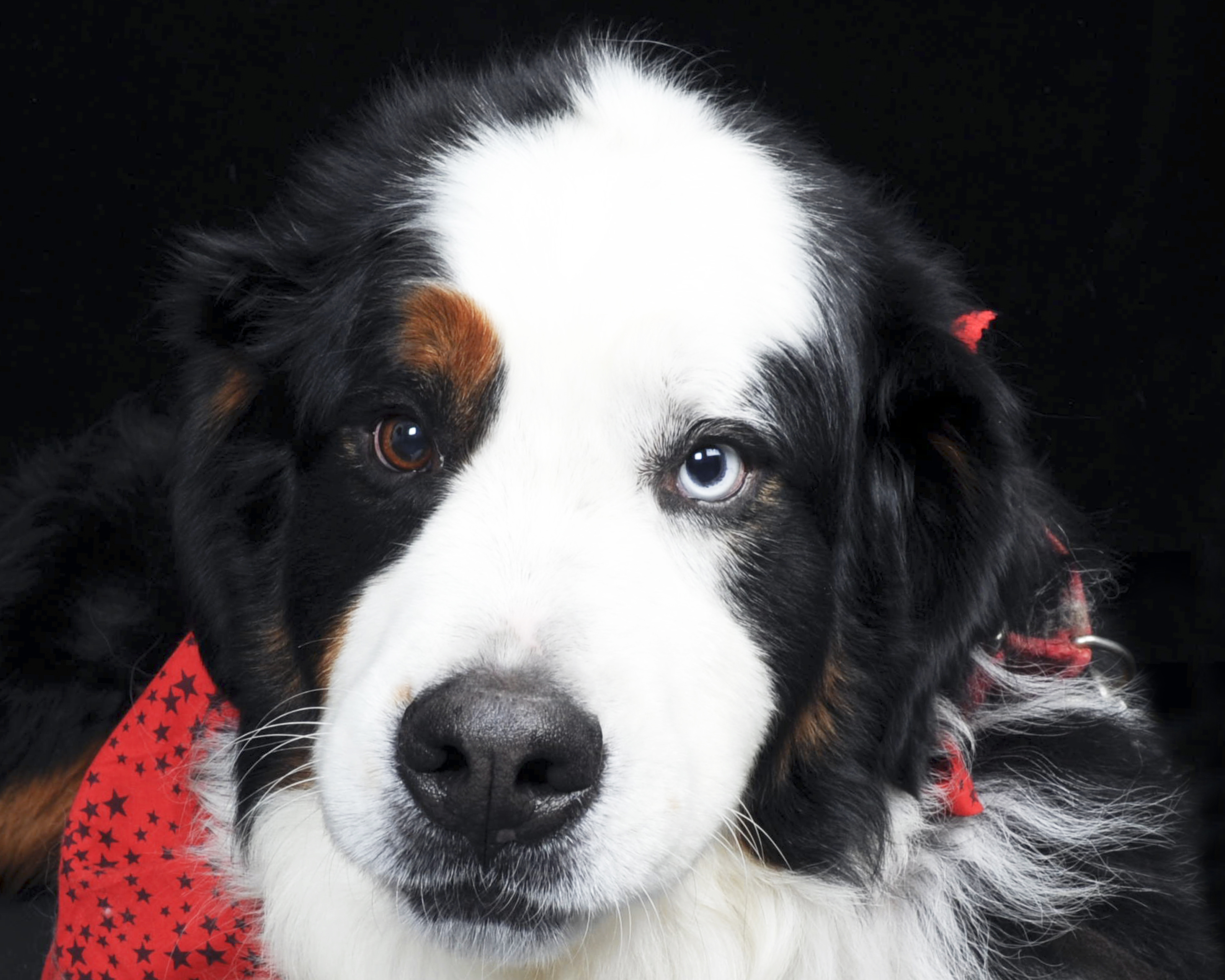 Cute Wallpapers Puppy Drawing Bernese Mountain Dog With Different Eyes Wallpapers And