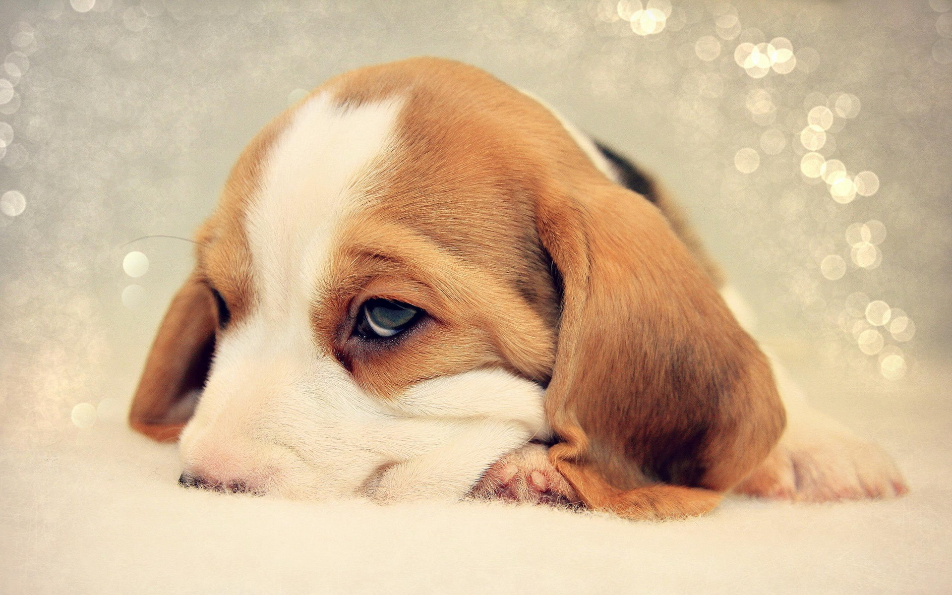 Wallpaper Perritos 3d Sad Beagle Puppy Nuzzled In Bed Wallpapers And Images